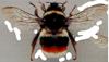 bumblebee_2